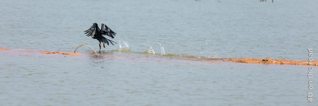 Bild Start eines Kormorans mit Anlauf über dem Wasser