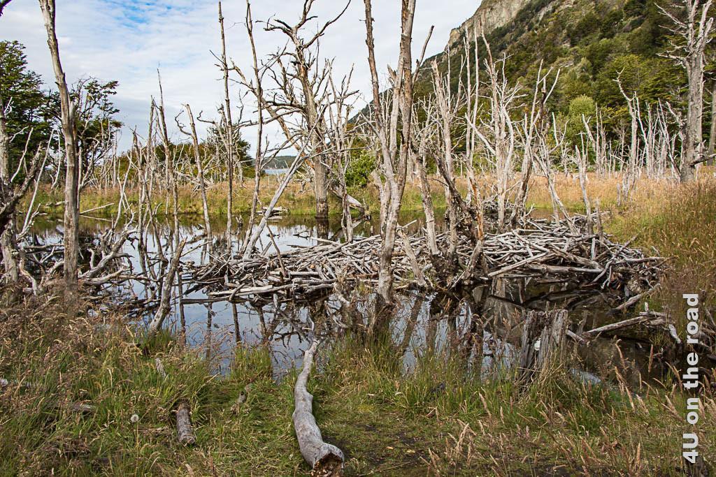 Bild Biberbau im Tierra del Fuego Nationalpark, zu sehen sind tote Bäume im Wasser und das aufgeschichtete Holz vom Biberbau