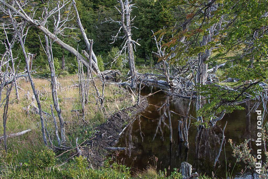 Bild Biberstaudamm im Tierra del Fuego Nationalpark
