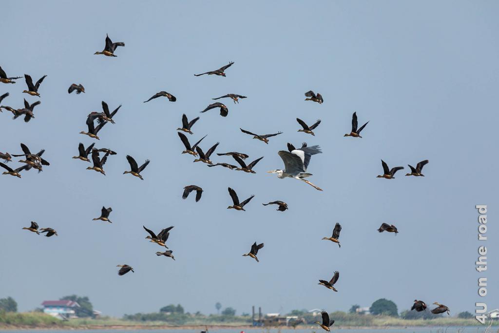 Bild Auffliegender Entenschwarm mit einem Reiher - Bueng Boraphet
