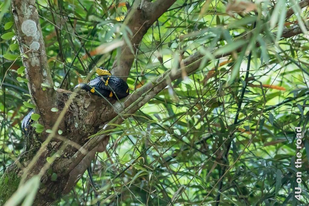Bild Bambusschlange auf einer Astgabel, Khao Sok Nationalpark zeigt eine schwarze Schlange mit gelber Kopfunterseite und gelben Flecken.
