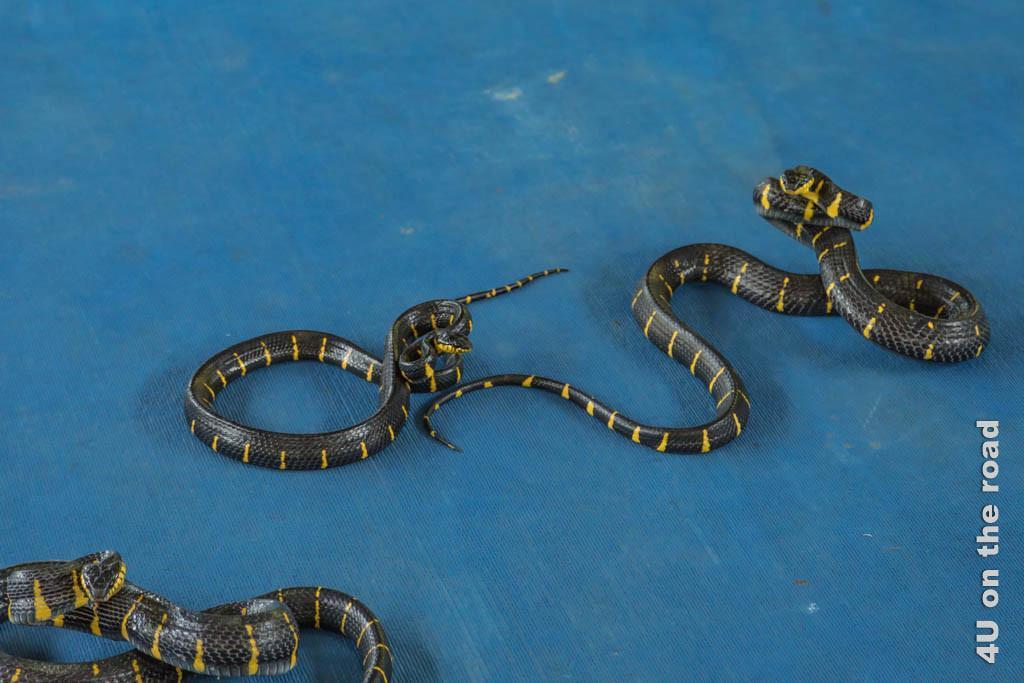 Bild Drei Bambusschlangen - Ao Nang Schlangenfarm