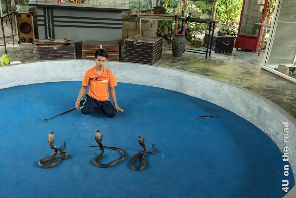 Bild Drei Kobras - Ao Nang Schlangenfarm, die drei Kobras haben sich alle aufgerichtet und schauen auf den Schlangenbändiger