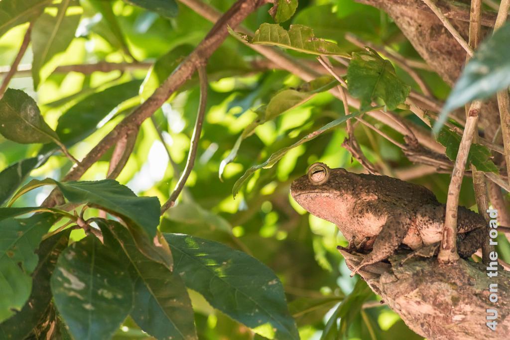 Bild Gut getarnt sitzt der Frosch im Baum, Khao Sok Nationalpark.