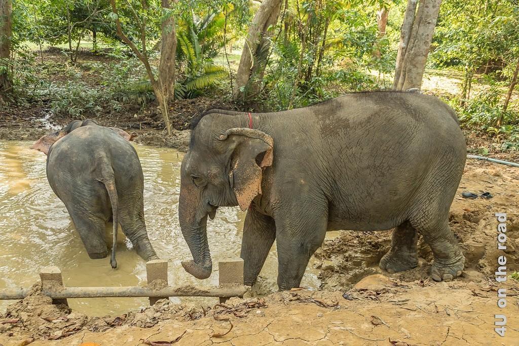 Bild Hier findet das Wellness-Programm für Elefanten statt. Im Bild sieht man wie die Elefanten in das Schlammbad einsteigenden Elefanten.