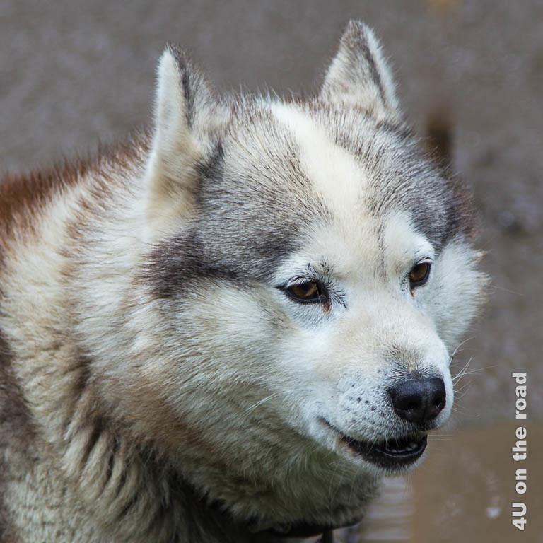 Bild 1 Husky Portrait