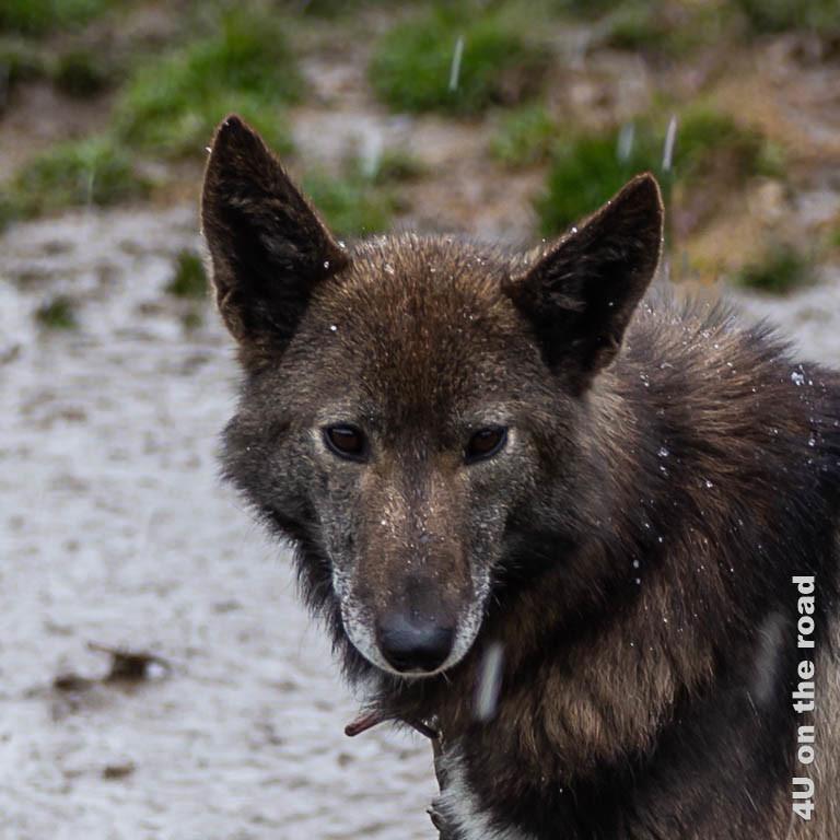 Bild 6 Husky Portrait, junger Husky mit braunen Augen und braunem Fell