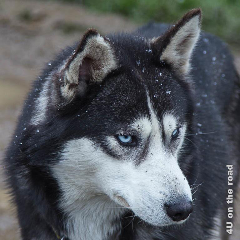 Bild 7 Husky Portrait, Husky mit blauen Augen und weiss-schwarzem Fell