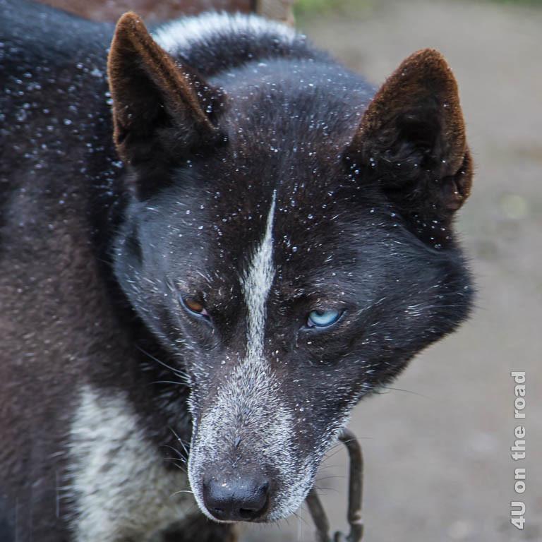 Bild 8 Husky Portrait, Husky mit einem braunem und einem blauen Auge, graue Schnauze mit grauem Strich zwischen den Augen und braunem Fell mit grauen Haaren