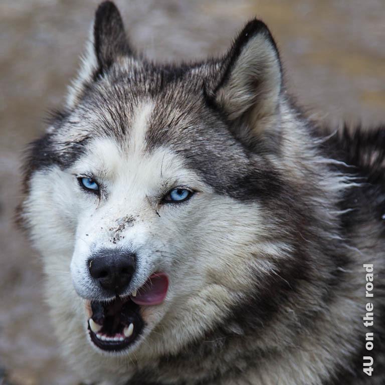 Bild 9 Husky Portrait, Husky mit blauen Augen mit beige und braunem Fell, bleckt sich die Zähne