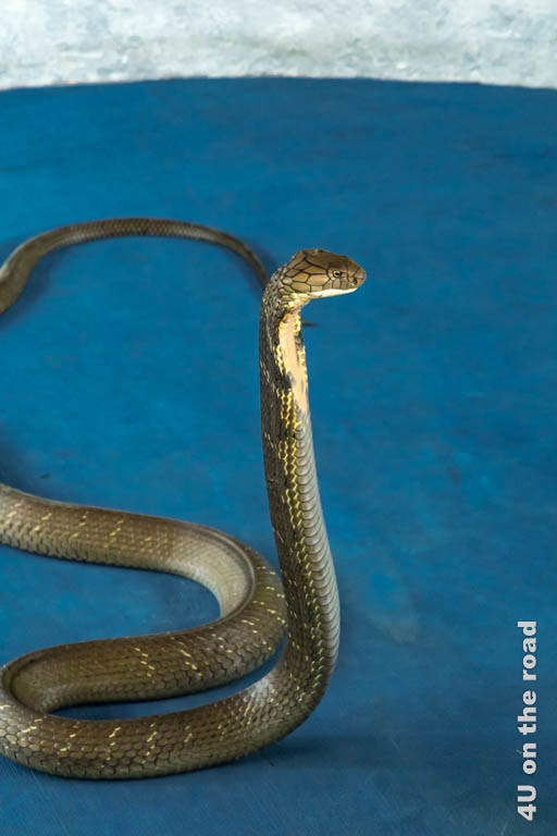 Bild Königskobra aufgerichtet - Ao Nang Schlangenfarm