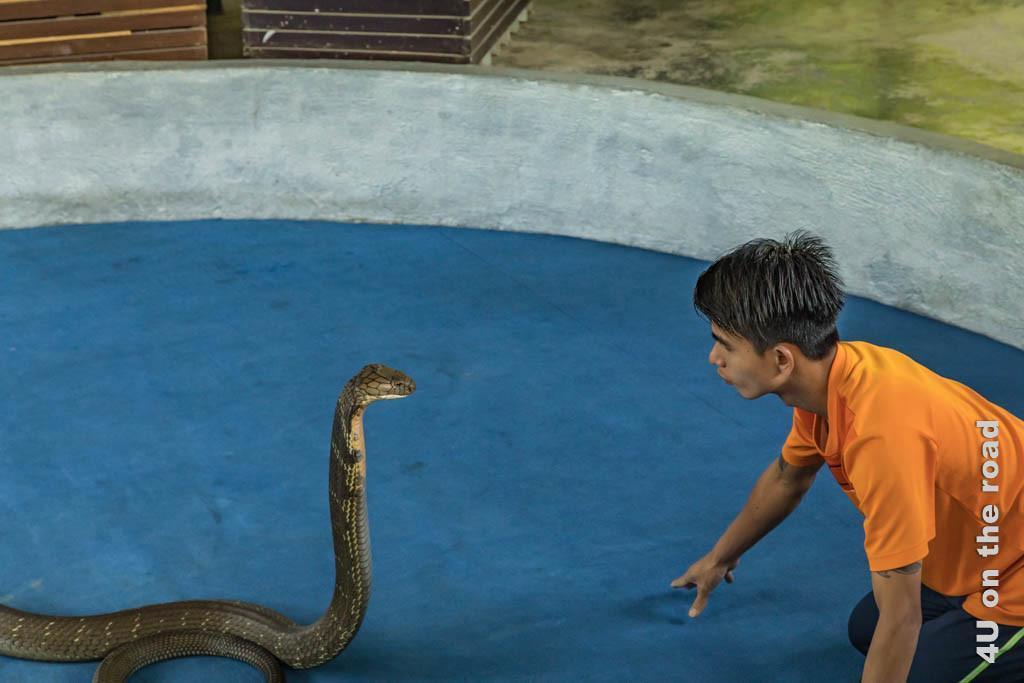 Bild Königskobra und Schlangenbändiger - Ao Nang Schlangenfarm