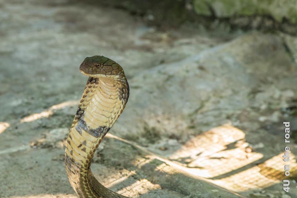 Bild Kobra von der Seite - Ao Nang Schlangenfarm