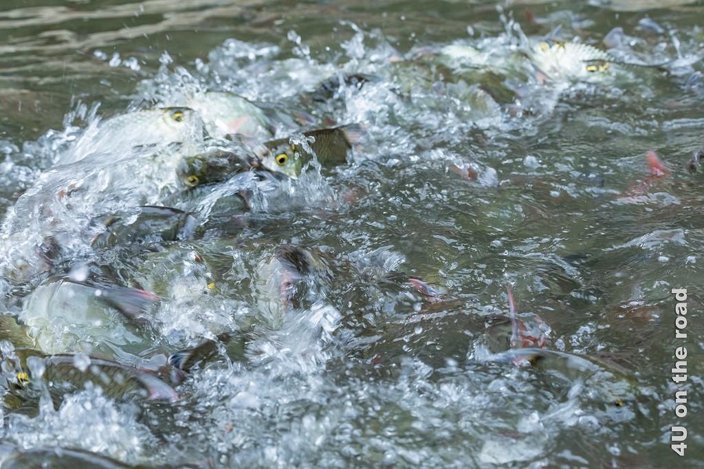 Bild Lebende Fischsuppe, Khao Sok Nationalpark