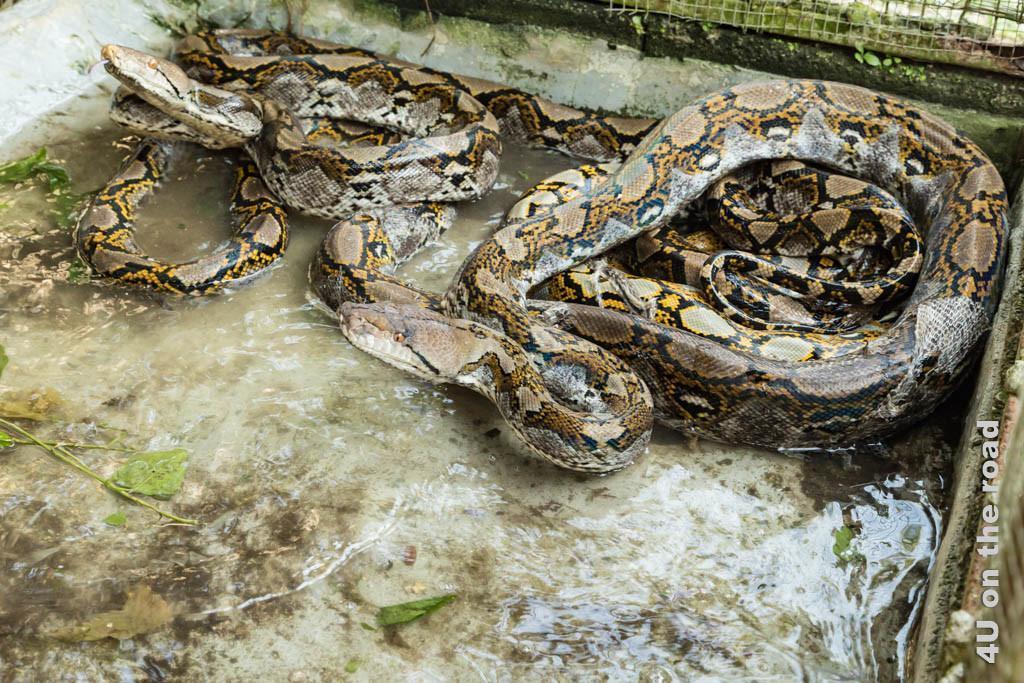 Bild Pythons - Ao Nang Schlangenfarm