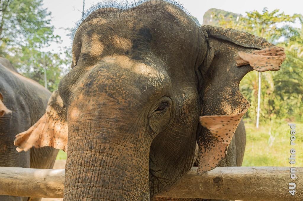 Bild Portrait einer Elefantendame - Khao Sok Nationalpark