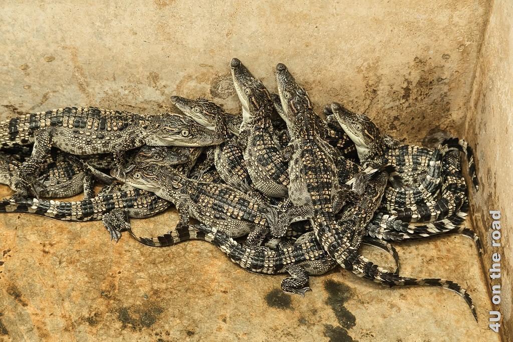 Bild Siam-Krokodil-Babies - Bueng Boraphet
