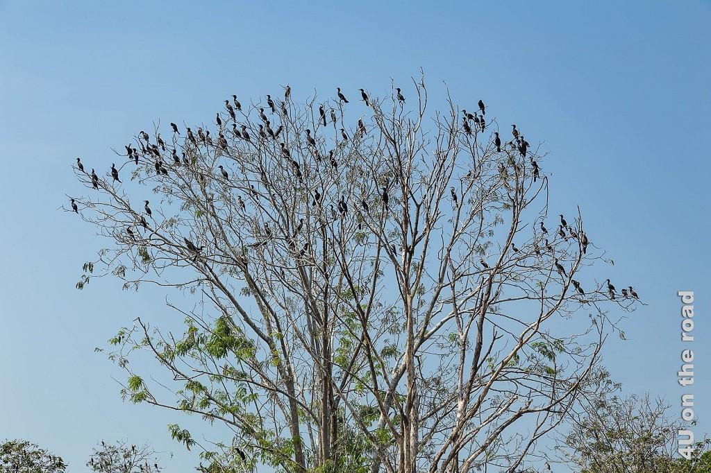 Bild Baum vollbesetzt mit Vögeln (Kormoran)