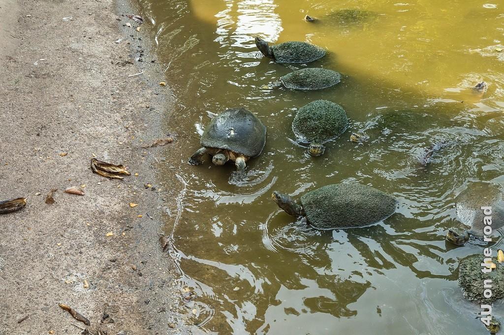 Bild Wasserschildkröten warten auf Fütterung mit Bananenstücken