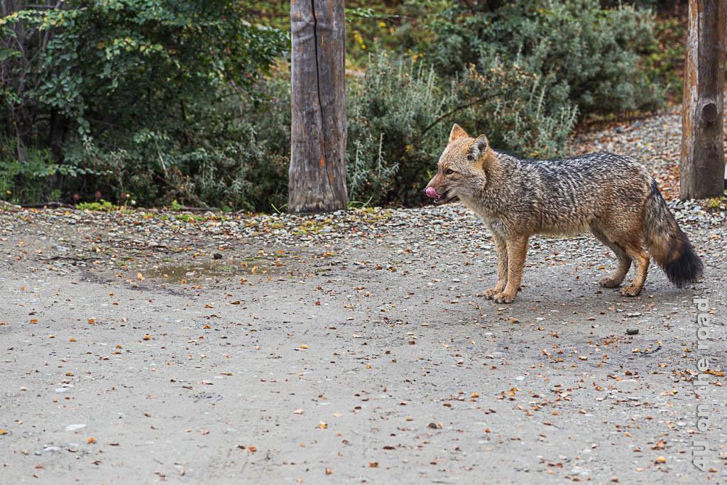 Bild Wegelagerer im Tierra del Fuego Nationalpark, das Bild zeigt einen bettelnden Fuchs