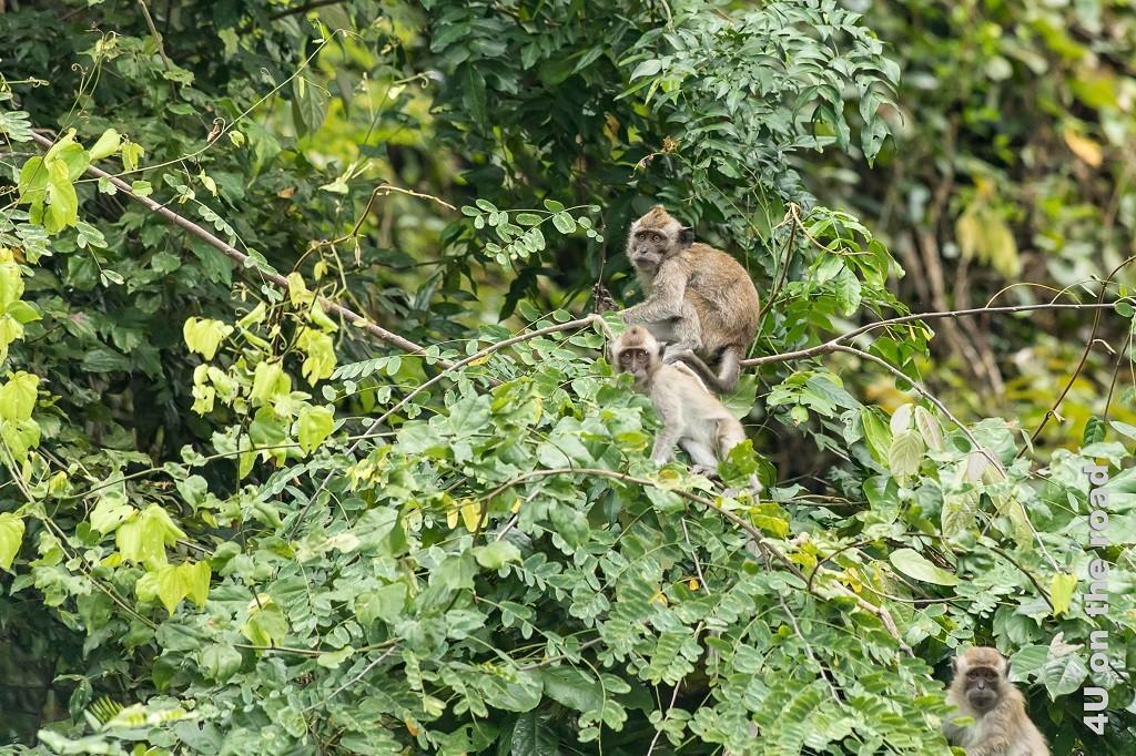 Bild Wer hier wen beobachtet, ist noch die Frage. Das Bild zeigt Affen im Baum, die uns beobachten.