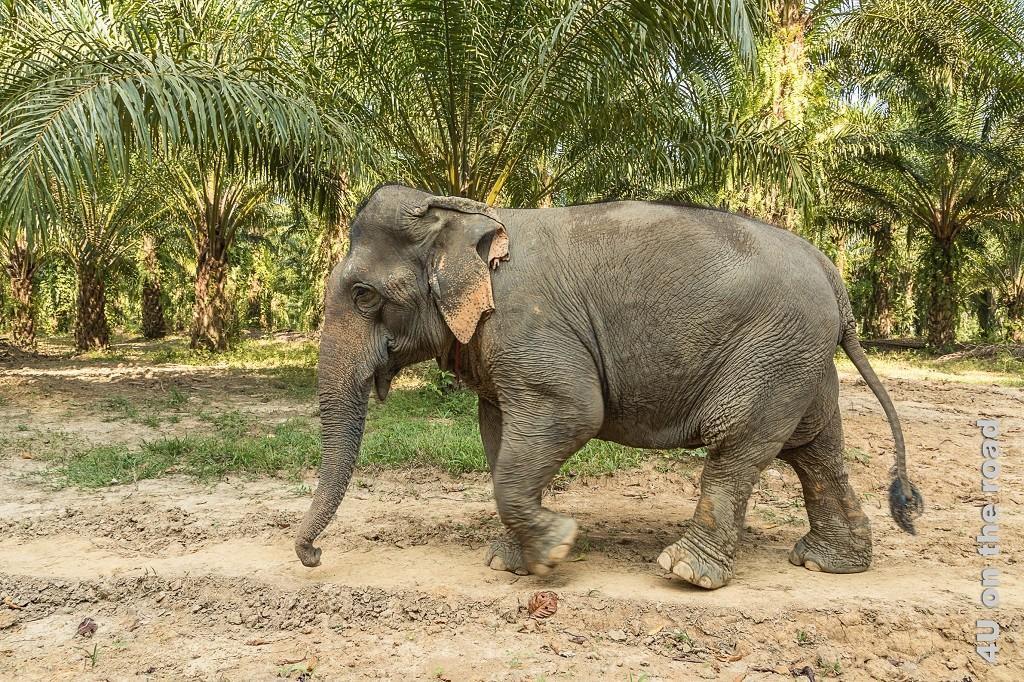 Bild Zum Schlammbad kann es gar nicht schnell genug gehen. Zielstrebig laufender Elefant im Khao Sok Nationalpark.