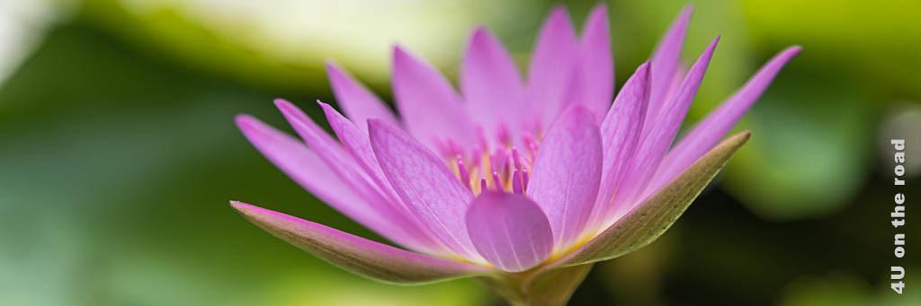 Bild Reisetipps Thailand - zeigt die Blüte einer Seerose in Rosa