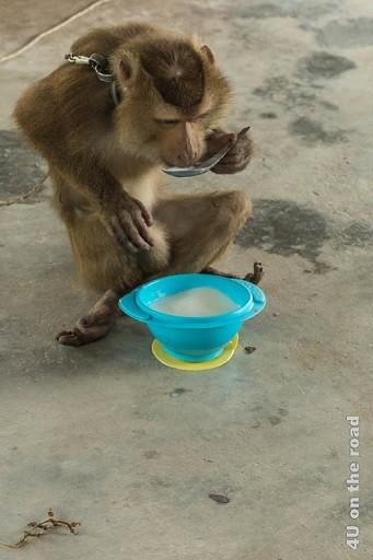 Bild Der Affe beim Essen - Ao Nang Schlangenfarm, der Affe sitzt im Schneidersitz vor einer Suppenschüssel und löffelt Suppe