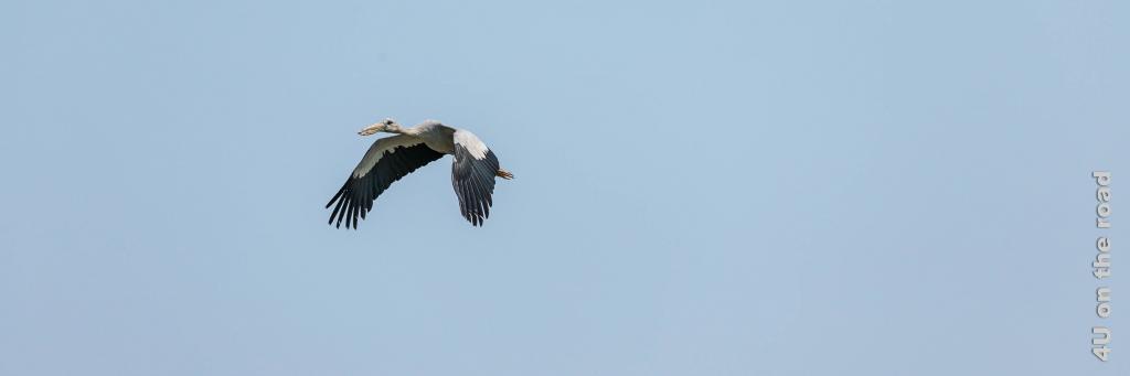 Bild Storch im Flug, Bueng Boraphet