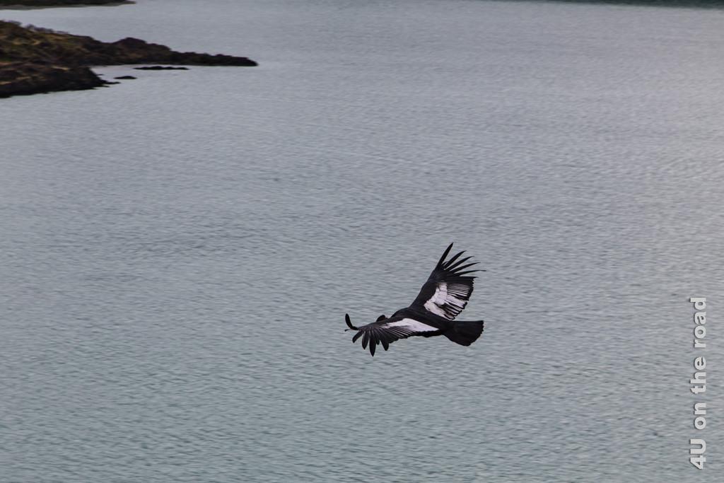 Bild Kondor über dem Lago Nordenskjöld im Flug mit gespreizten Flügeln - Torres del Paine Nationalpark