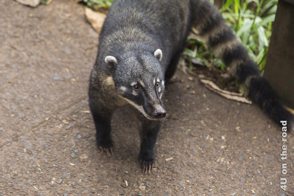 Bild Iguazu, Brasilianische Seite - Bettelnder Nasenbär mit scharfen Krallen. Er hat schwarzes Fell mit braunen Ringen entlang des langen Schwanzes. Dazu eine lange, spitze Schnauze und ausgeprägte, mindestens 2 Zentimeter lange Krallen.