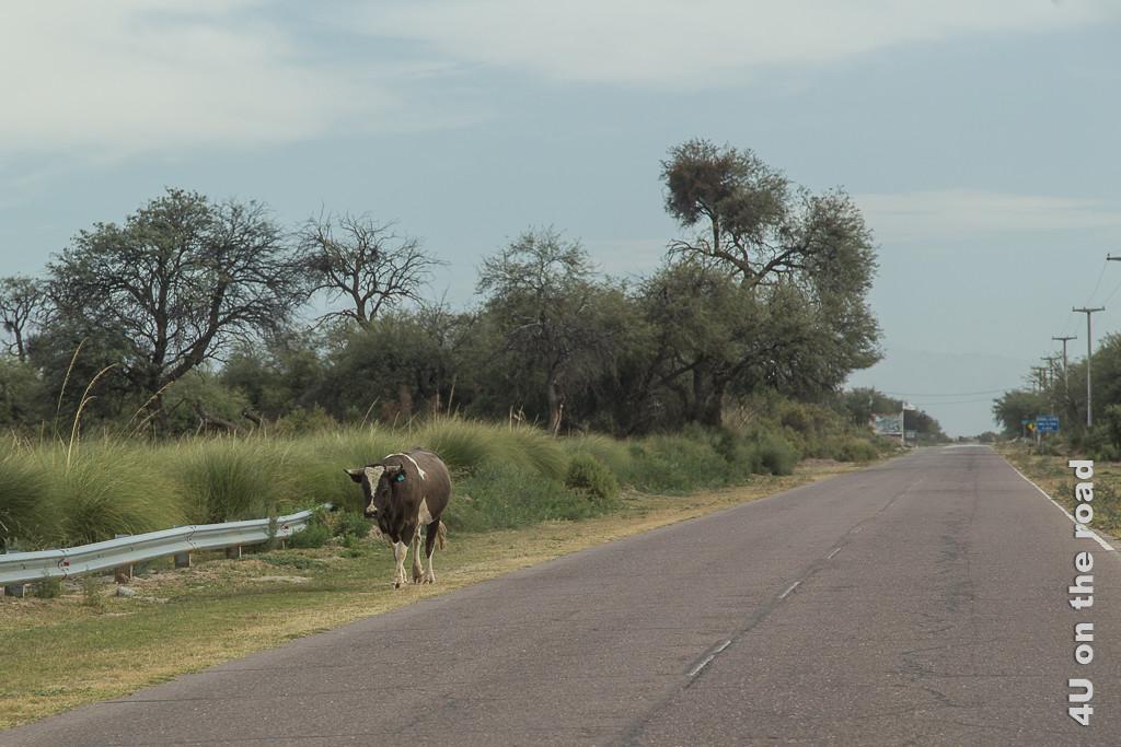 Bild Die Kuh findet den Heimweg wohl allein. Auf der anderen Strassenseite läuft uns am Rand eine einsame braunweisse Kuh entgegen. Kein Mensch oder Fahrzeug weit und breit zu sehen.