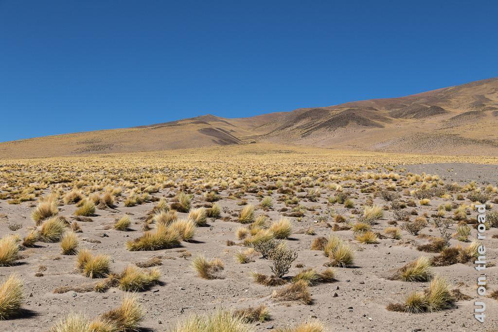 Bild Entlang des Weges nach San Pedro de Atacama - nadelspitzes Gras wächst auf einer Hochebene, das Bild zeigt die einzelnen Grasbüschel vor einem hügeligen Hintergrund