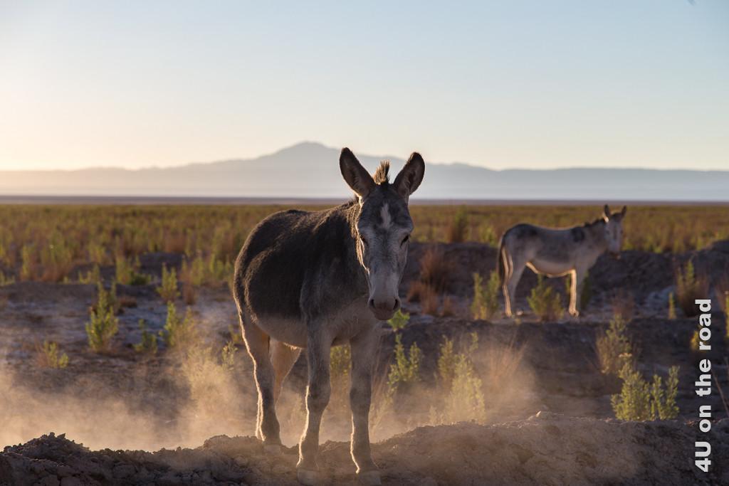 Bild Esel kommen aus der Weite der Atacama angetrabt und hinterlassen Staubwolken