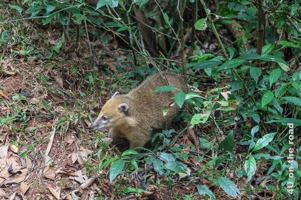 Bild Iguazu - Nasenbär, brauner Pelz und spitze Nase, kommt aus dem gebüsch; etwa so gross wie eine Katze