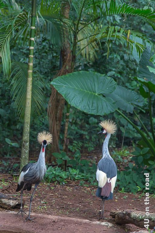 Bild Iguazu, Brasilianische Seite, Parque des Aves - zwei Kronenkraniche; hochbeinige, gosse Laufvögel mit graublau und weissem Gefieder. Auf dem Kopf eine Kugel aus einzelnen hellen Halmen, die ihnen den Namen gab.