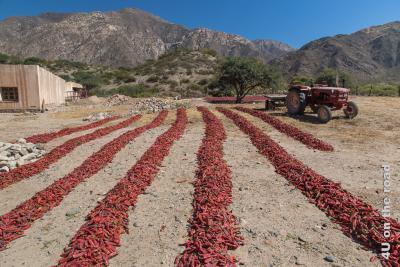 Bild Lange Reihen von Peperoni zum Trocknen in der Sonne auf dem sandigen Boden