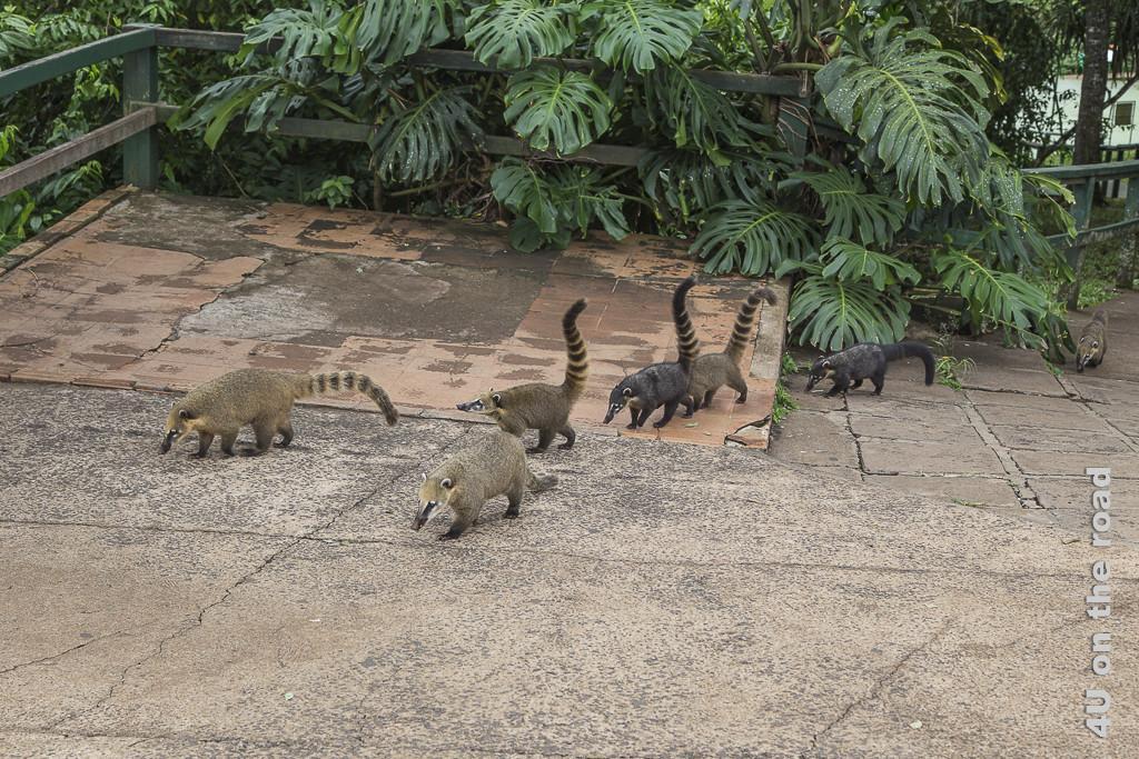 Bild Iguazu, Brasilianische Seite - Nasenbärfamilie mit sechs Mitgliedern. 4 haben bräunllcihes Fell, zwei von ihnen schwarzes Fell. Drei von ihnen haben den langen, pelzigen Schwanz wie eine Antenne aufgestellt.