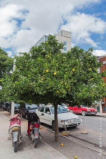 Orangenbaum, in dessen Schatten zwei Mopeds Schutz suchen und Oragen auf dem Boden.