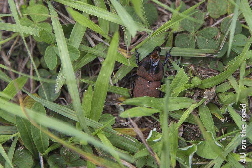 Bild Mission Santa Ana - Käfer - Provinz Misiones. Grosser Käfer im Gras. Er hat einen erdbraunen Rücken, ein Horn mit 2 Spitzen auf dem vorderen Rücken, sowie ein nach oben und hinten gekrümmtes grosses Horn das zwischen den Augen seinen Ursprung hat.