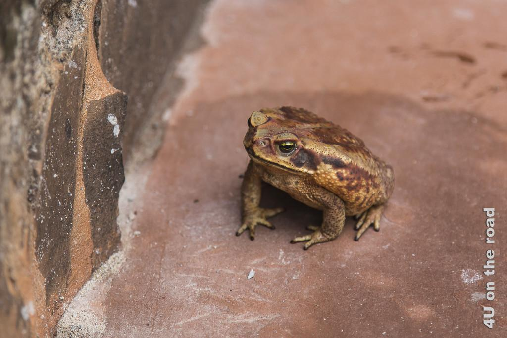 Bild Mission Santa Ana - Kröte - Provinz Misiones. Eine männerhandgrosse Kröte hockt auf rötlicher Steinplatte. Sie hat einen bräunlichen Rücken und ist ander Seite gelb-braun gesprenkelt.