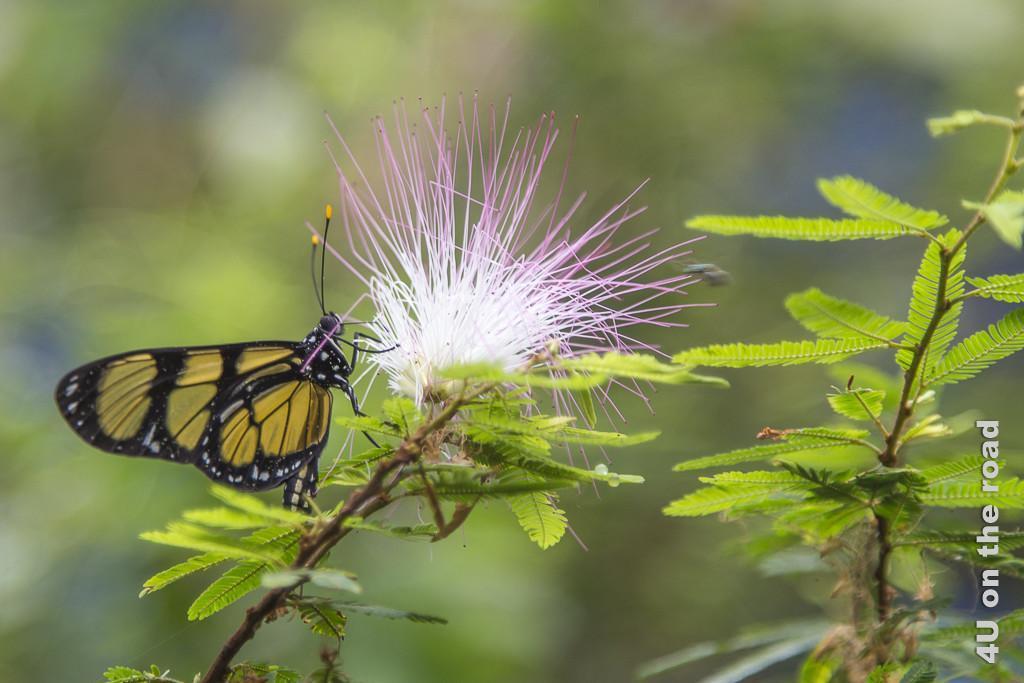 Bild Schmetterling im Parque de la Cruz: Nahaufnahme eines Schmetterlings auf einem dünnen braunen Zweig mit einer grossen Blüte die aus vielen langen, unten weissen, oben rosafarbenen Fäden besteht. Er hat orangefarbene, fast durchsichtige Flächen in den ansonsten schwarzen, mit weissen Punkten versehenen Flügeln.
