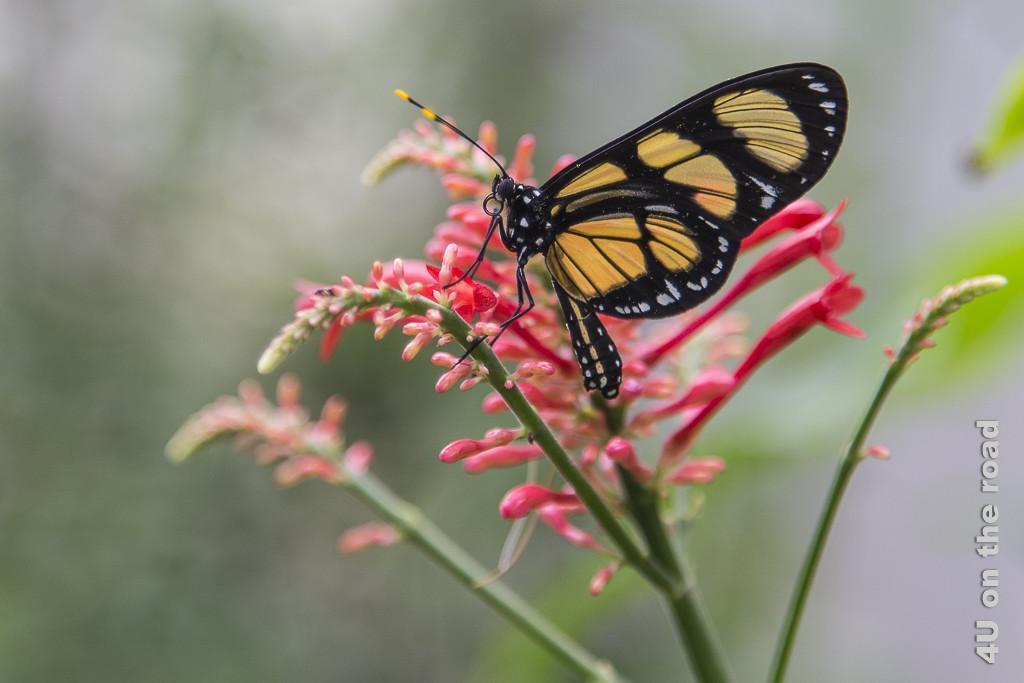 Schmetterling im Parque de la Cruz. Nahaufnahme eines Schmetterlings auf einem dünnen grünen Zweig mit rosafarbenen, länglichen Blüten. Er hat orangefarbene, fast durchsichtige Flächen in den ansonsten schwarzen, mit weissen Punkten versehenen Flügeln.
