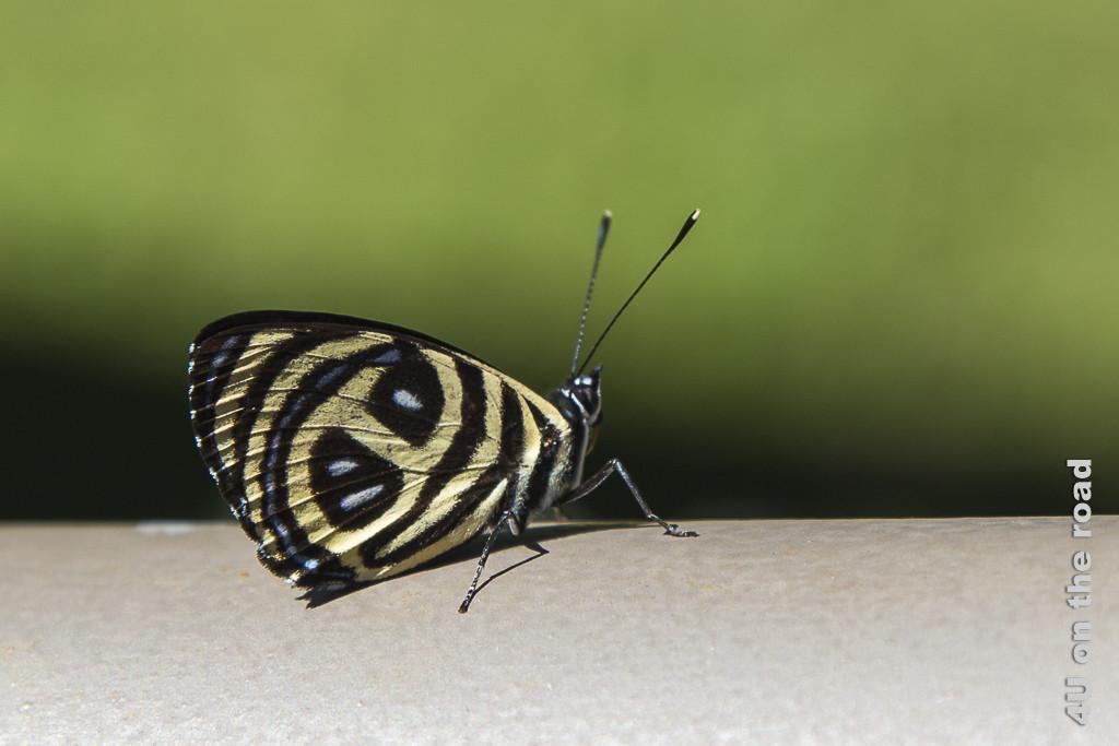 Bild Schmetterling - Salto Encantado - Provinz Misiones. nahaufnahme eines Schmetterlings, der auf einer Metalloberfläche sitzt. Die Flügel sind schwarz mit breiten weiss-gelblichen Streifen und blauen Flecken dazwischen.
