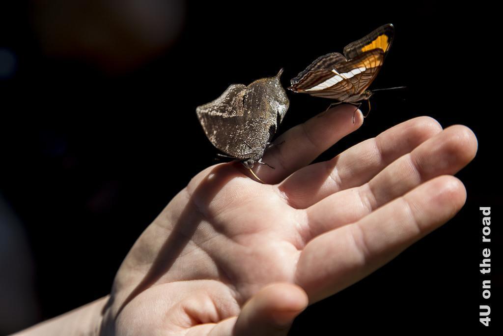 Bild Schmetterling am Salto Encantado - Provinz Misiones. Zwei Schmetterlinge haben sich auf der Hand einer unserer Töchter niedergelassen.
