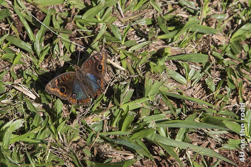 Bild Schmetterling Salto Encantado - Provinz Misiones. Ein Schmetterling sitzt im Gras. Seine Flügel sind bräunlich gemustert mit blau irisierenden bereichen sowie 3 Augen je Flügel.