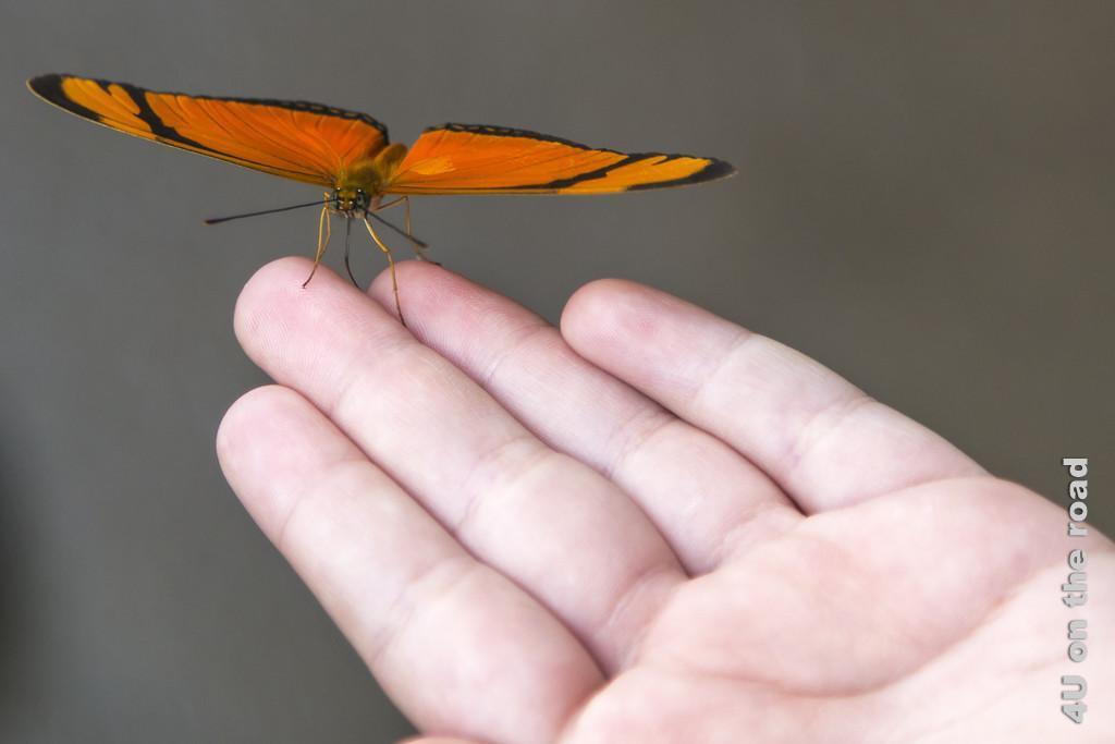 Bild Iguazu, Brasilianische Seite - Schmetterling auf der Hand; er hat kräftig orangefarbene Flügel mit dünnen schwarzen Rändern und sitzt auf den Fingerspitzen einer ausgestreckten, flachen, offenen Hand