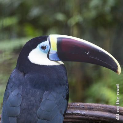 Bild Iguazu, Brasilianische Seite, Parque des Aves - Tukan i; Schnabel dunkel-violett, schwarz, gelb und blau abgesetzt; blauer Ring um die Augen; Rücken schwarz
