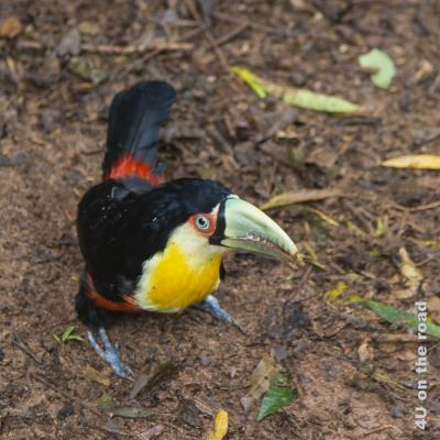Bild Iguazu, Brasilianische Seite, Parque des Aves - Tukan k; hellgrüner Schnabel, weisses Brustgefieder mit grossem, gelben Fleck, rotes Bauchgefieder, Rücken schwarz