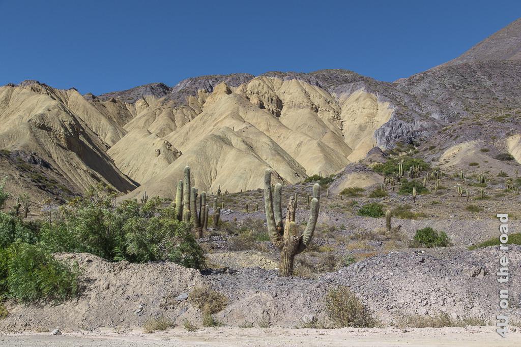 Bild Von Purmamarca zum Passo de Jama - Kakteen vor gelben Felsen in Szene gesetzt